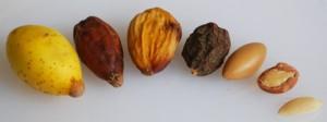 argan-frugt-noed-kerne